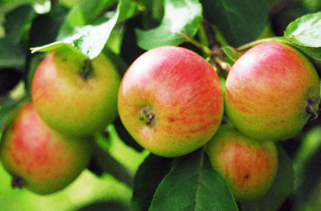 Apple Trees and Other Fruit Plants for sale